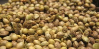 Feminized Seeds created using Lady Pollen's Feminizing Seed Spray